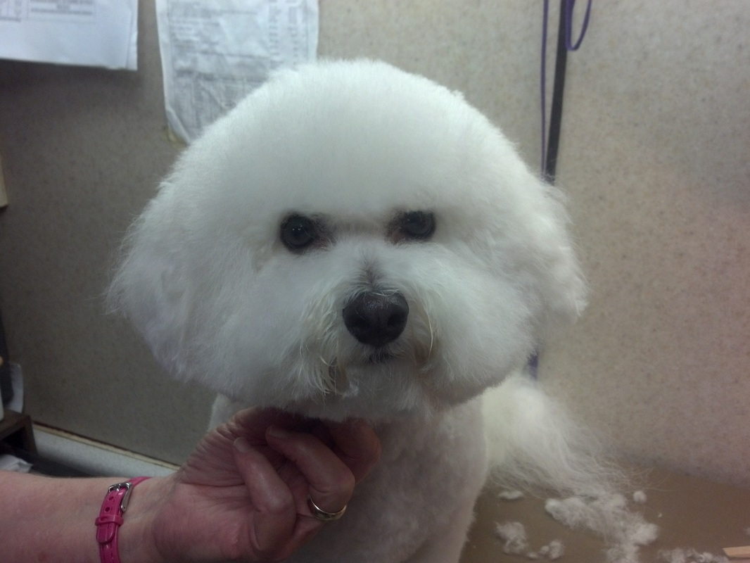 Bichon Groom Page Naju Quot The Fun Place For Your Pets Quot