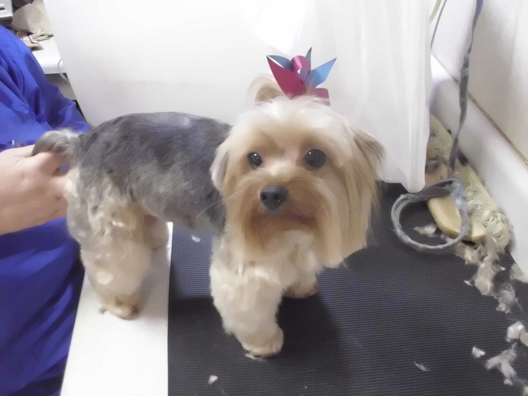 Yorkie Groom Page Naju The Fun Place For Your Pets